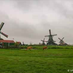Zaanse Schans - Les moulins et des vaches